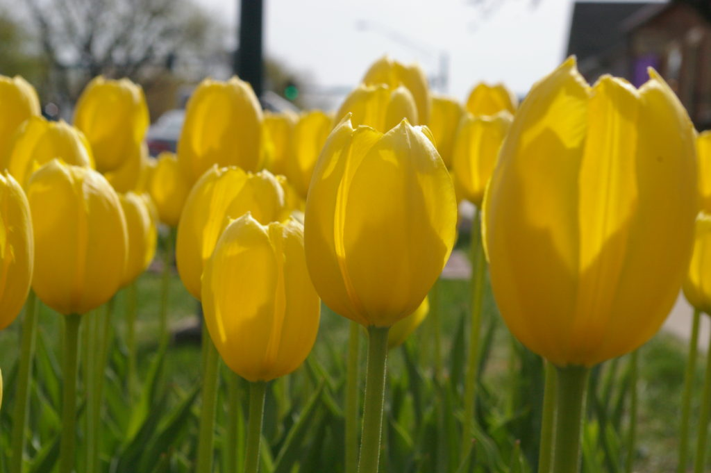 Yellow tulips at Tulip Time in Pella, Iowa