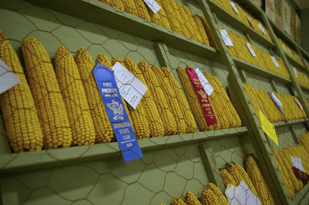 Prize ears of corn at the Minnesota State Fair in St. Paul, Minnesota