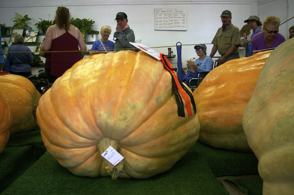 Giant pumpkins at the Minnesota State Fair in St. Paul, Minnesota