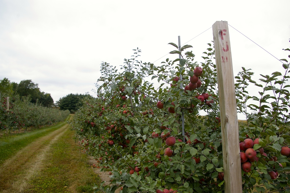 Rows of Fuji apple trees at Edwards Apple Orchard West near Rockford, Illinois