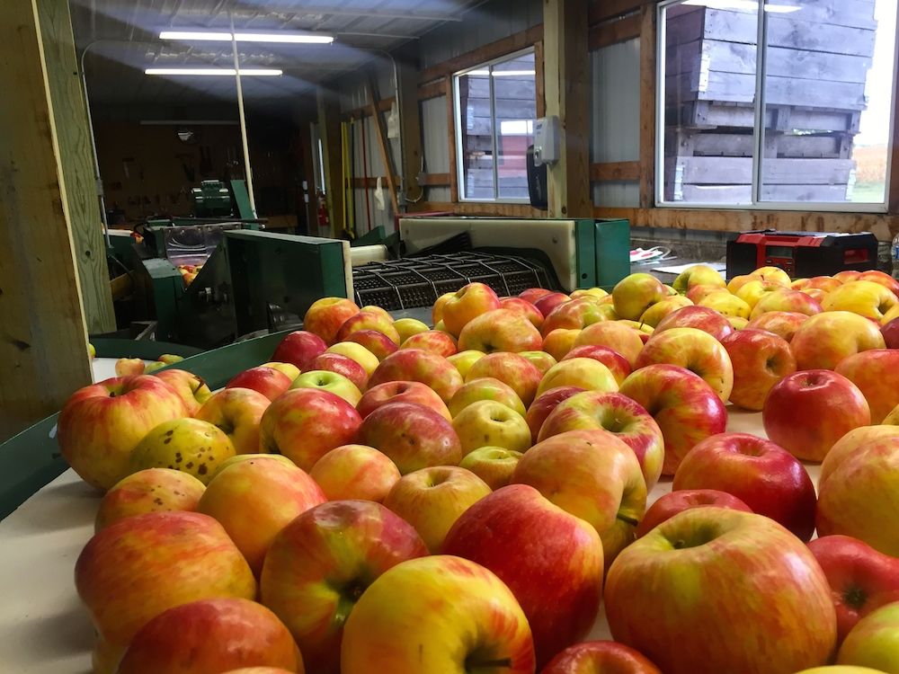 Conveyor belt of apples being washed at Edwards Apple Orchard West near Rockford, Illinois