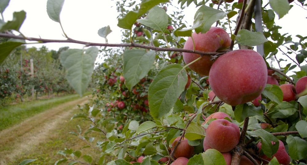 EdwardsAppleOrchard2
