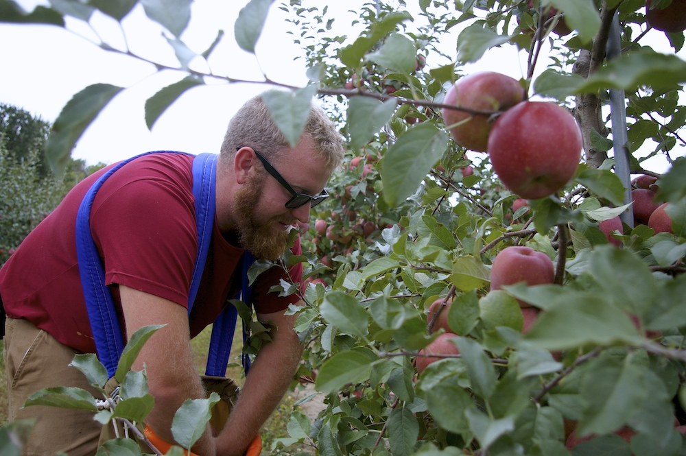 Worker picking apples at Edwards Apple Orchard West near Rockford, IL
