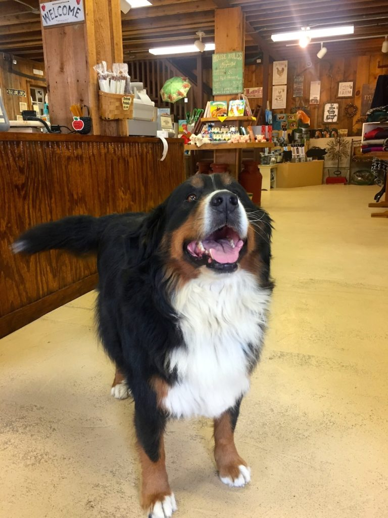Bella the Bernese Mountain Dog at Edwards Apple Orchard West near Rockford, IL