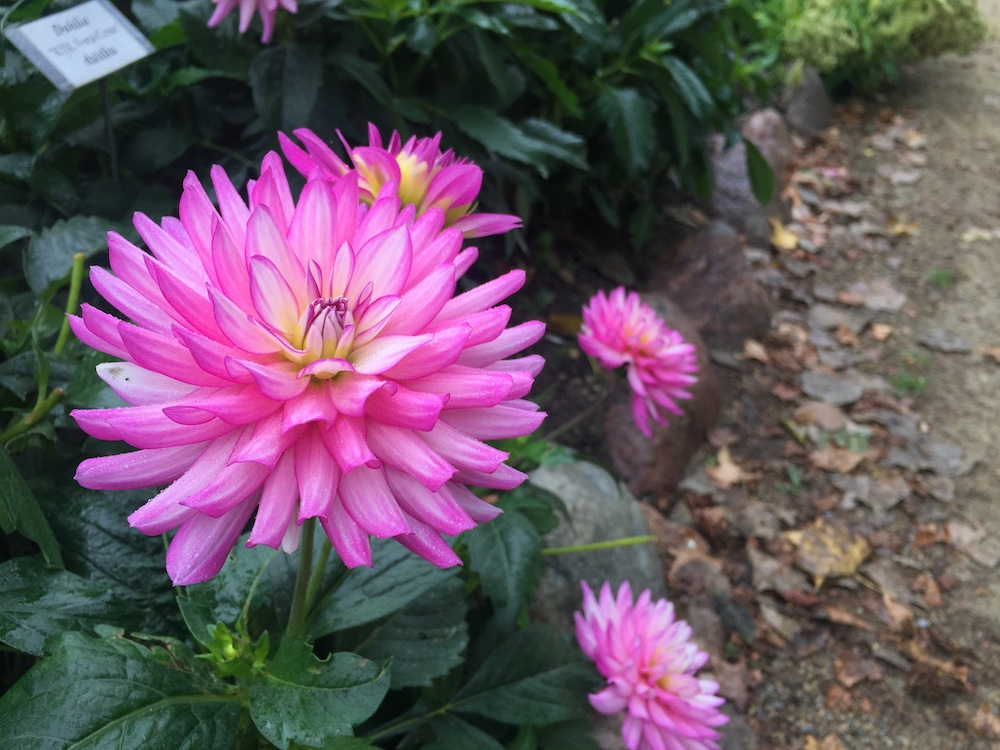 Pink dahlia bloom at the Rotary Botanical Gardens in Janesville, Wisconsin