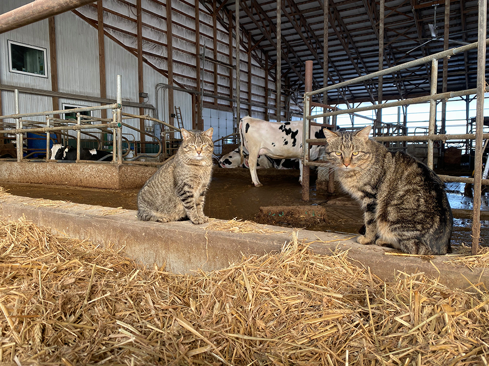 Barn cats at the New Day Dairy Guest Barn in Clarksville, Iowa